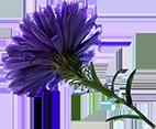korenbloem-klein